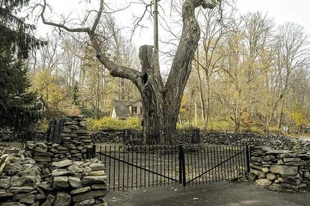 The Balmville Tree. - DAVID MORRIS CUNNINGHAM