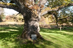 The Bedford oak tree. - ROB PENNER