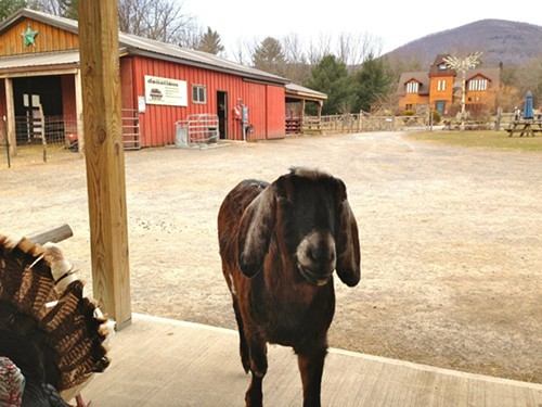 The goats have reason to smile at the Woodstock Farm Animal Sanctuary