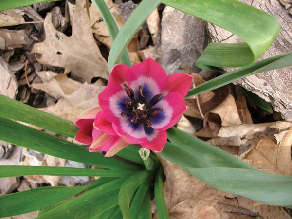 The petite species-type tulips are much more critter-resistant than the big hybrid tulips. - LARRY DECKER