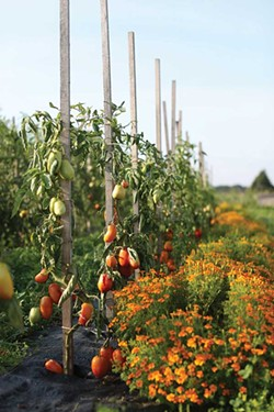 Tomatoes and marigolds.