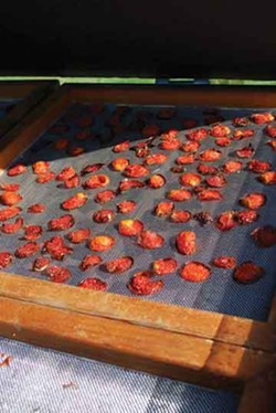 Tomatoes in the solar dryer at Hudson Valley Seed Library. - LARRY DECKER