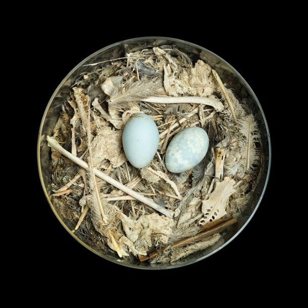 Sharon Beals' Brown Booby (Sula leucogaster brewsteri), a photograph from 2008 of egg shells, grass, sticks, seaweed, and bones collected in 1925. Courtesy of the artist and the Western Foundation of Vertebrate Zoology.