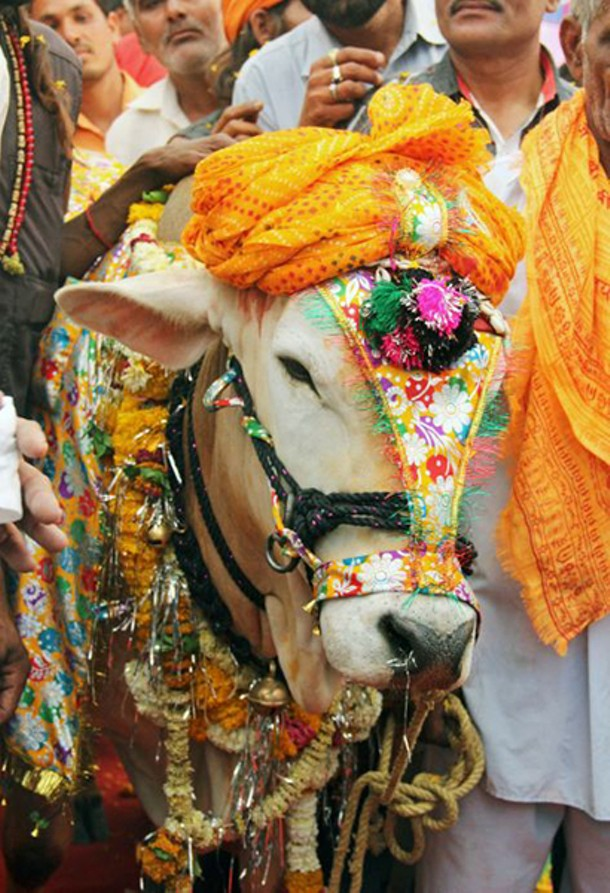 sacred-cow.jpg