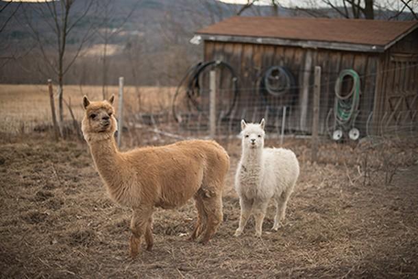Llamas at the farm - JIM MAXIMOWICZ
