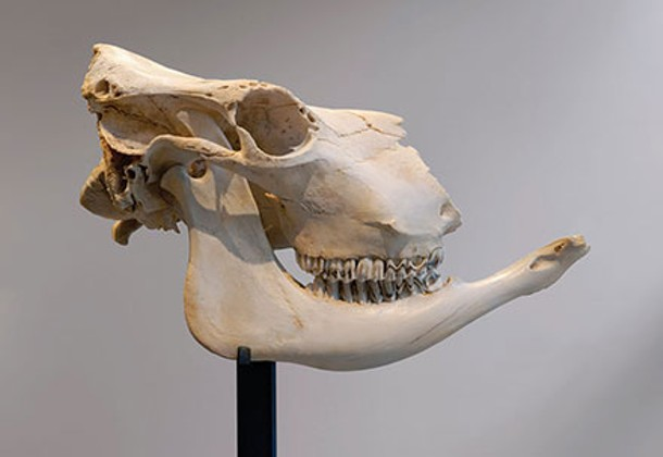 Cow skull unearthed from Galusha Farm. - MIKE AGEE