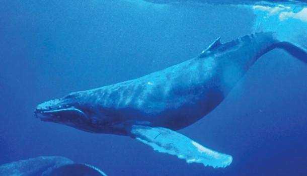 wyws_humpback_whale_underwater_shot.jpg