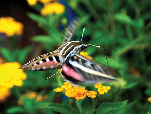 One of several species of hummingbird moths found in our region that benefit from an ecologically thoughtful landscape. - LARRY DECKER