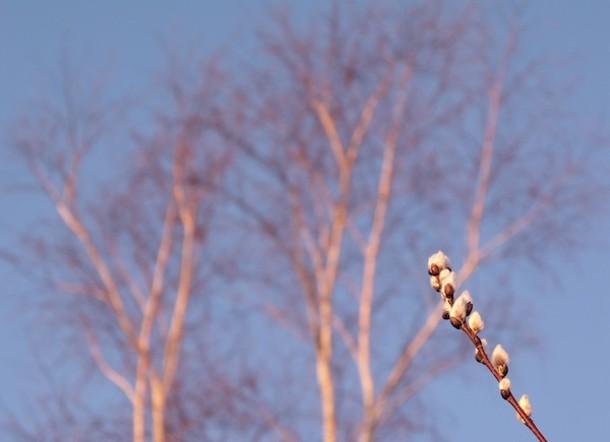 600_dawn_trees_pussywillow_march2012dscf5842.jpg