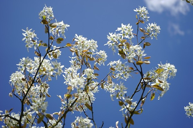 Shadblow serviceberry in bloom