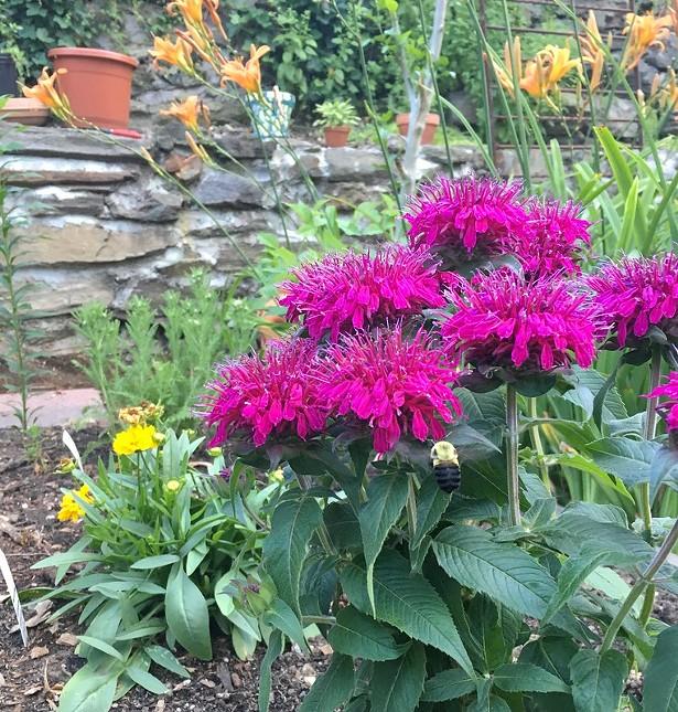Monarda, or bee balm, planted in a garden