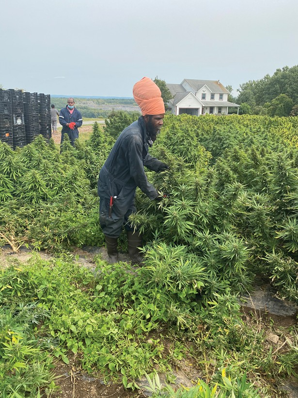 Michael Hart, Hempire State Growers' cannabis specialist, overseeing the hemp harvest on Hempire's farm in Ulster County.