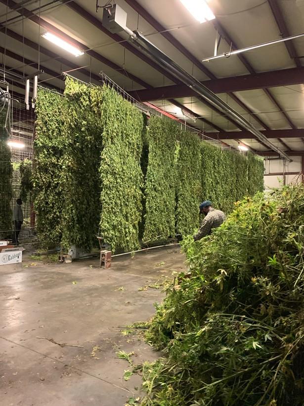 scenes from Hempire State Growers' Hudson Valley farm: air drying freshly harvested hemp.