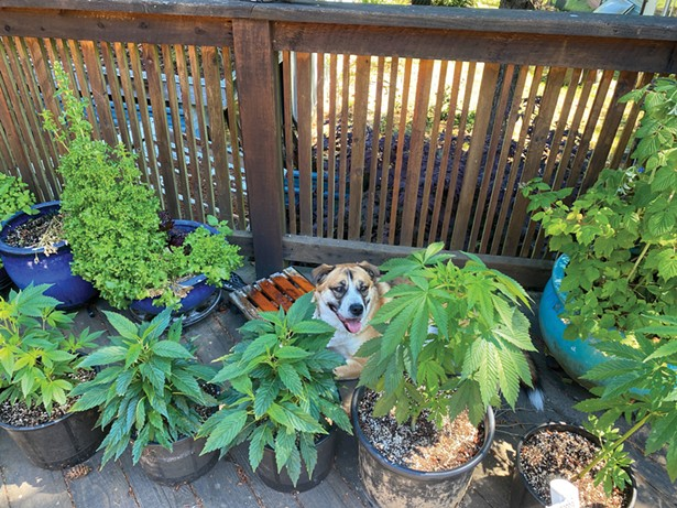 It will be at least a year until New Yorkers can relax among their pot plants like this St. Bernard-Husky mix in British Columbia, where home grow is legal.