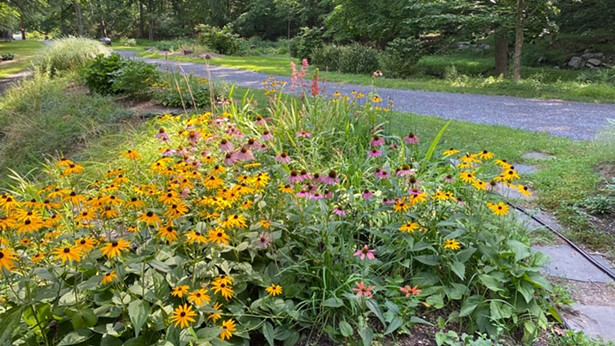 Native plants like Echinacea and Black-eyed Susans are both beautiful and support local insect and bird populations - IMAGE COURTESY OF HUDSON VALLEY NATIVE LANDSCAPING