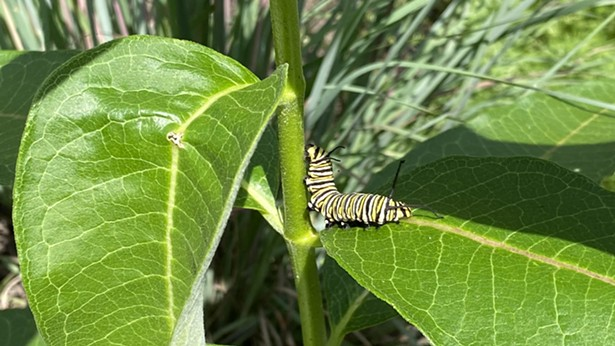 Monarch larvae bite off the mid rib of the milkweed leaf, stopping the flow of sticky sap. Then it can eat as much of the leaf as it wants. They will attach their chrysalis on other nearby plants or trees so that predators have a harder time finding them. - IMAGE COURTESY OF HUDSON VALLEY NATIVE LANDSCAPING