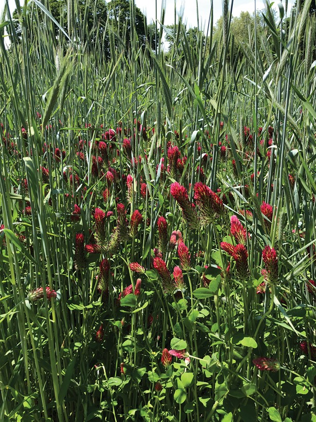 Ceremony winter rye and crimson clover growing at Plan Bee Brewery in Poughkeepsie.