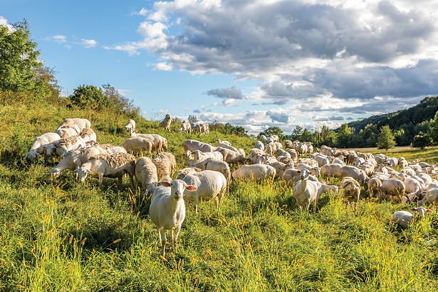 """The flock of white Dorper sheep enjoying a pasture at Lime Kiln Farm. """"I'm a nurturer by nature,"""" explains Brent Zimmerman, who comes from a family of dairy farmers. """"If you don't like animals, I don't think farming is for you. They don't speak English; you have to figure out what they want, when they want it and how they want it. It can be very frustrating. But I think I would die without my animals. My goal is always to give them a very good life."""" - WINONA BARTON-BALLENTINE"""