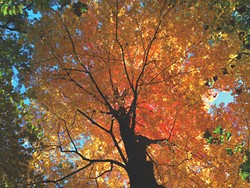Maple tree, Kingston Rotary Park, October 26 - BRIAN K. MAHONEY