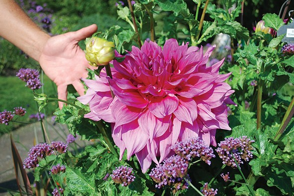 More dahlias - LARRY DECKER