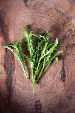 Ox-eye daisy (Leucanthemum Vulgare) leaves. - PETER BARRETT