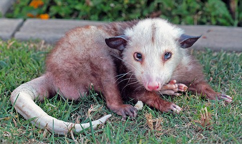 Opossums are our friends.