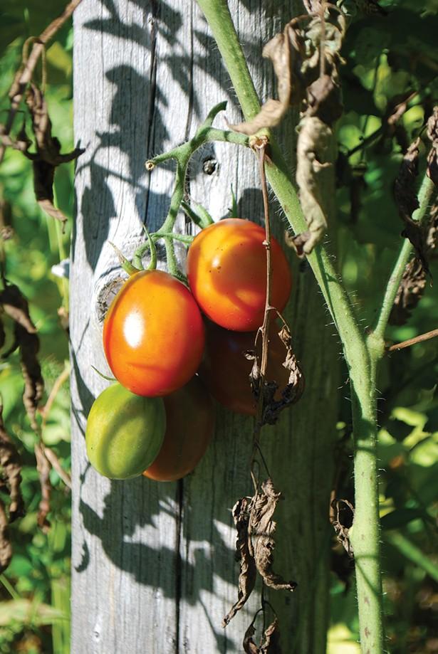 Tomato - LARRY DECKER