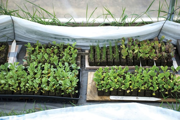 Seedlings from the Hudson Valley Seed Library.