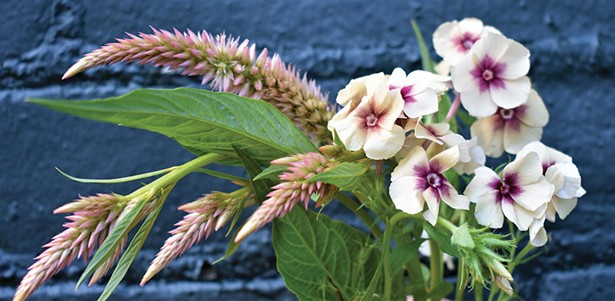 Celosias (left) and phlox (right) are sturdy cut flower plants that are easy to grow. - LARRY DECKER
