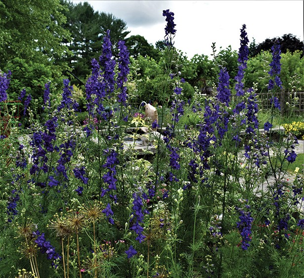 Peeking through delphiniums, ornamental onions, and variegated spider flowers. - LARRY DECKER