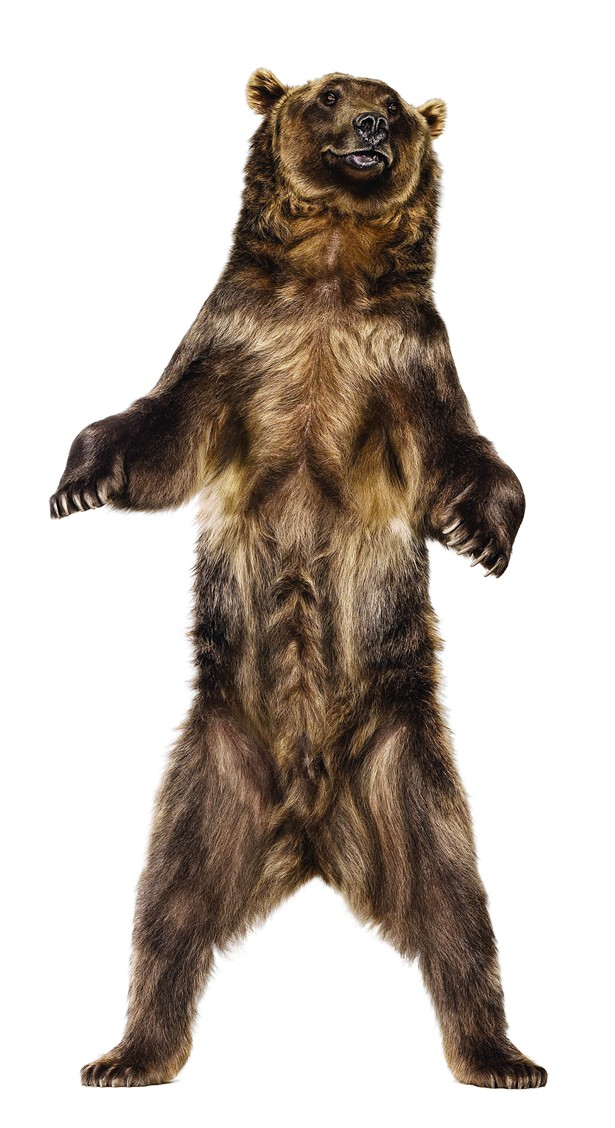 Grizzly Bear, a photograph from Andrew Zuckerman's book Creature, published by Chronicle in 2007.