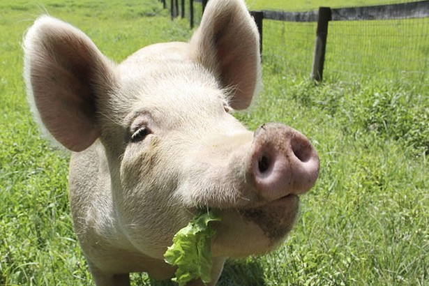 pig-at-sanctuary-700x467.jpg