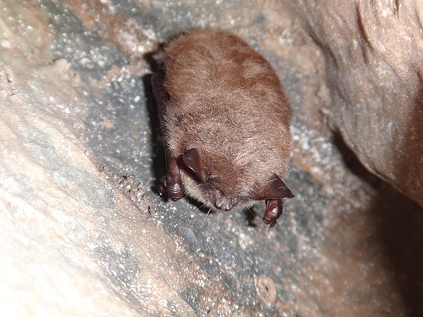 A bat in Howe Cave. Bats hibernate in many caves in the winter and roost in the caves during the day in the spring. - PHOTO: PAUL GRIGGS