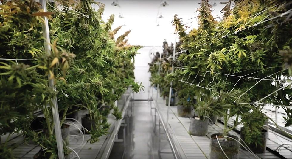 An Acreage Holdings grow room in Syracuse.