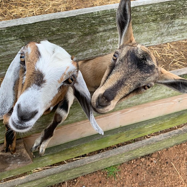 Goat selfies are better than just about anything else on your feed. - PHOTO COURTESY OF KELDER'S FARM ON FACEBOOK