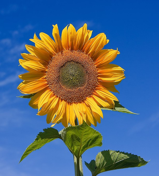 Barton Orchards' first annual Sunflower Festival takes place August 10-18.