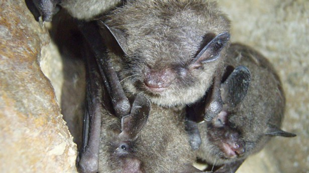 An increasingly rare sight in the Northeastern US: Healthy Indiana bats. - US FISH AND WILDLIFE SERVICE