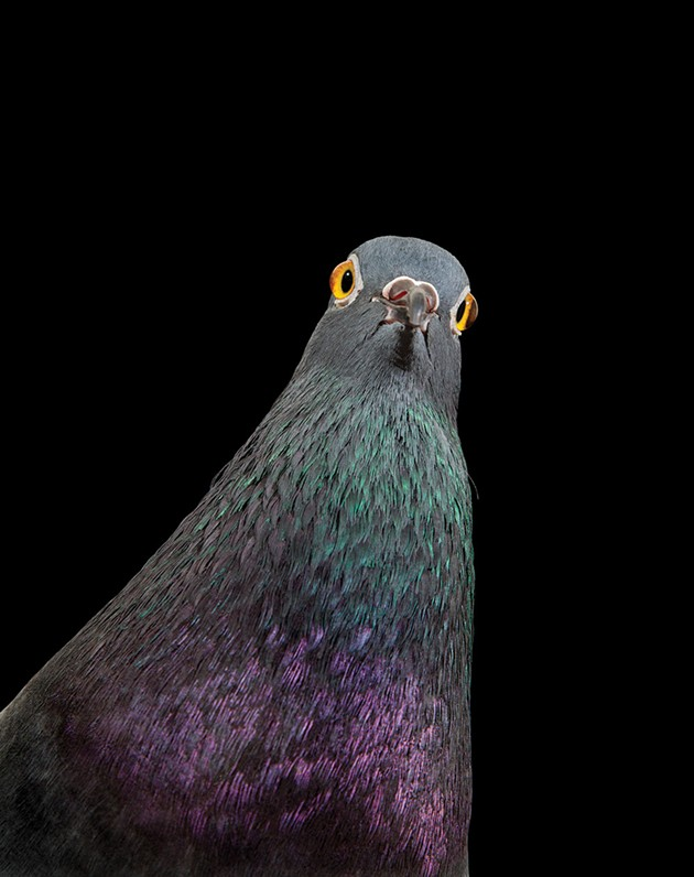 On the Cover: Andrew Garn's Photograph of New York Pigeon, <i>Fido</i>