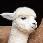 Hudson Valley Alpaca Farms