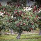 Autumn is for Apple Picking: Best U-Pick Apple Orchards in the Hudson Valley