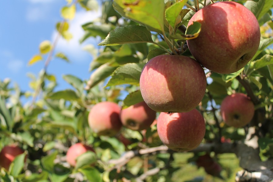 apple-tree-nature-grass-branch-growth-650613-pxhere.com.jpg