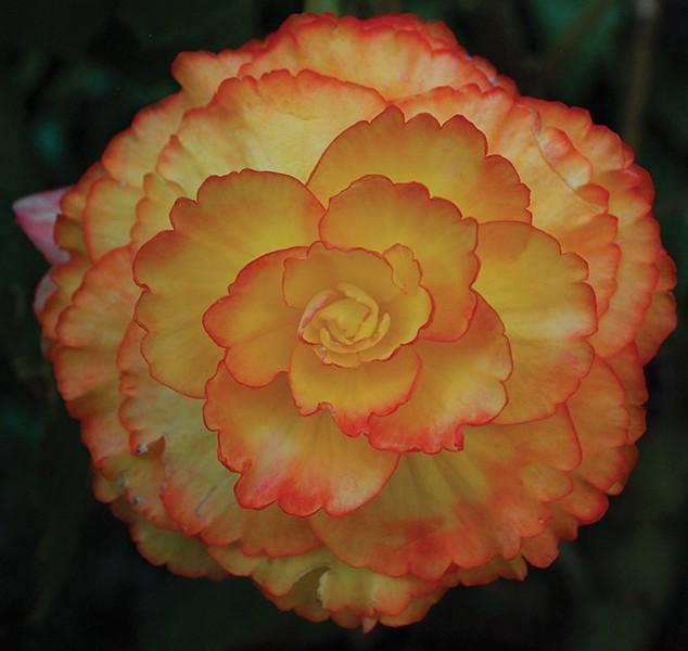 Tuberous begonias - LARRY DECKER