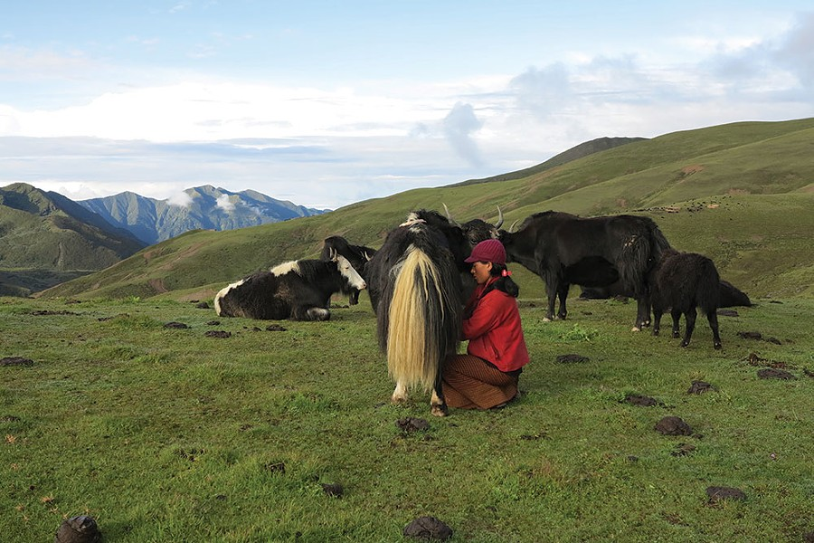 Buttermaking in the highlands of Bhutan begins with hand-milking the yak. - ELAINE KHOSROVA