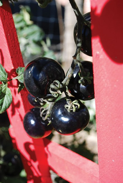 Black tomato - LARRY DECKER