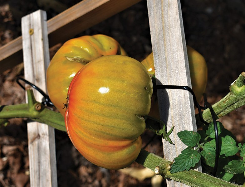 Heirloom tomatoes make up in personality what they lack in uniformity—they generally have superior flavor over hybrids. - LARRY DECKER