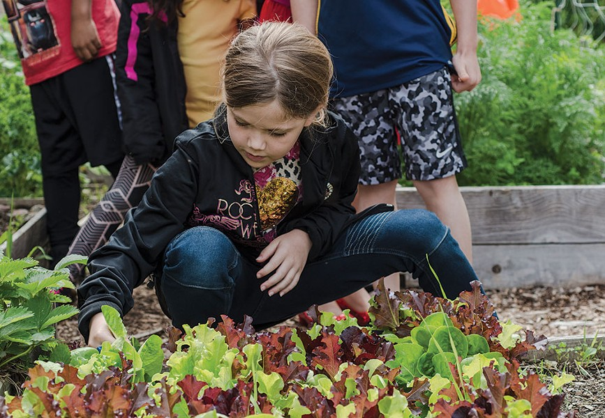 A student at Sargent Elementary School in Beacon harvests lettuce from the school garden, planted as part of a Hudson Valley Seed program. - MEGHAN SPIRO / HUDSON VALLEY SEED