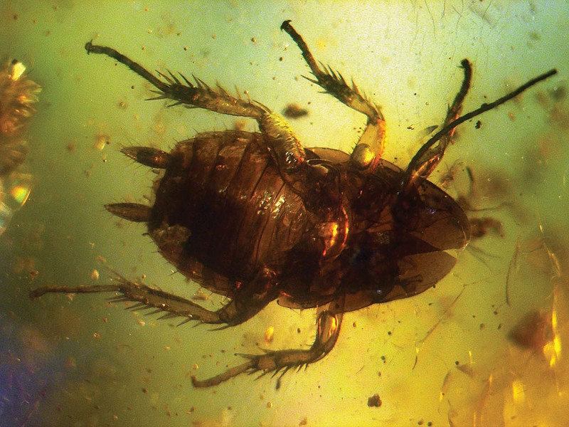 wyws_1280px-baltic_amber_inclusions_-_cockroach_pterygota_.jpg