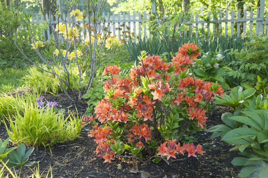 Spring is not all pastels if you add deciduous azaleas in fiery flower colors. - PHOTO BY MARGARET ROACH