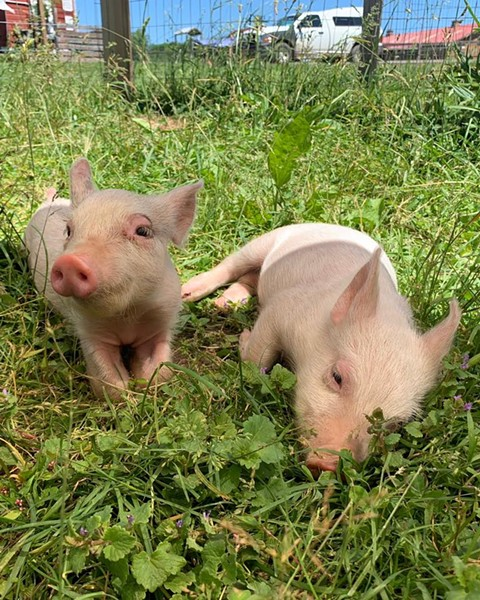 Harvey and Marsha, two pigs at the Woodstock Animal Sanctuary. - PHOTO COURTESY OF WOODSTOCK FARM SANCTUARY ON FACEBOOK