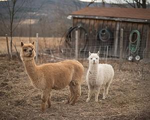 Llamas at the farm